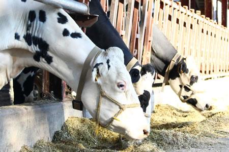 イチゴミルク牧場(池田牧場)の搾乳牛