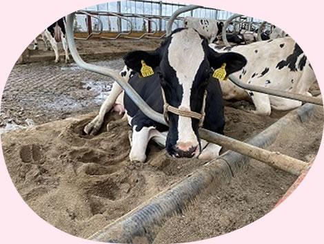 イチゴミルク牧場・池田牧場の牛たち