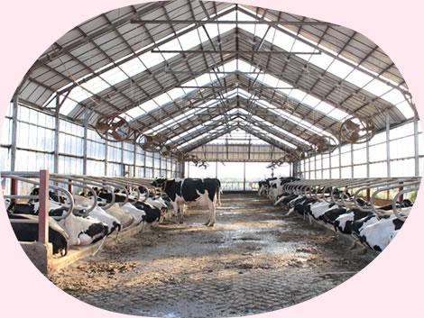 イチゴミルク牧場・池田牧場では牛がのびのび自由に過ごしています