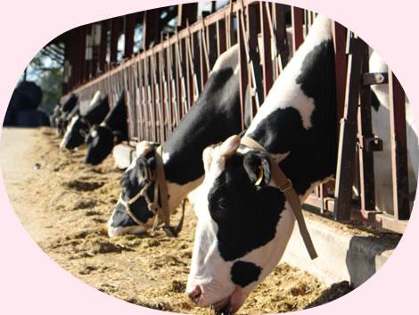 イチゴミルク牧場・池田牧場では数年後には法人化予定。さらに働きやすい環境を目指します。